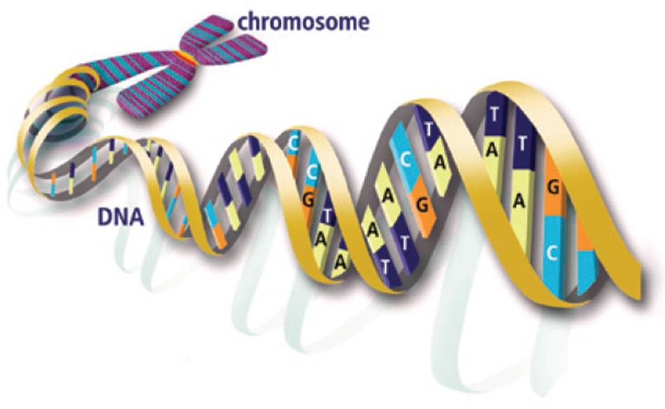 Resultado de imagen de El Genoma humano magen: U.S. Department of Energy Human Genome Program